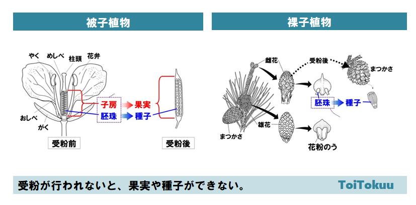 花のつくり(中学理科)