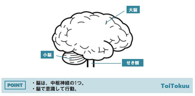 ヒトの脳のつくり(中学理科)