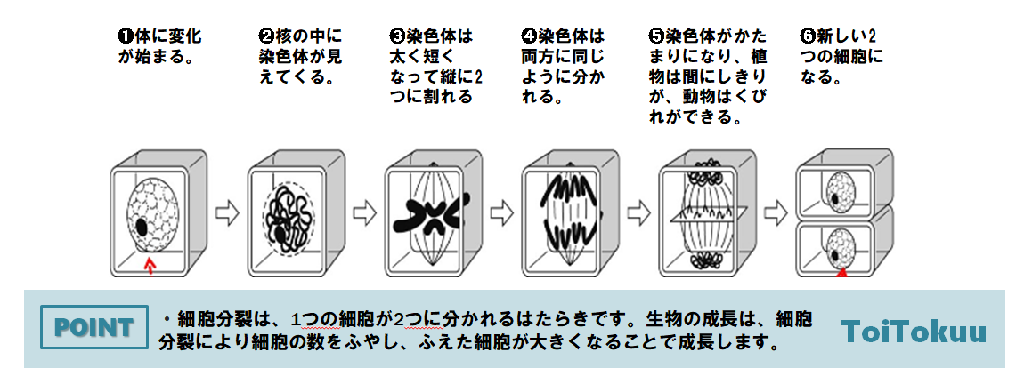 細胞分裂の順序
