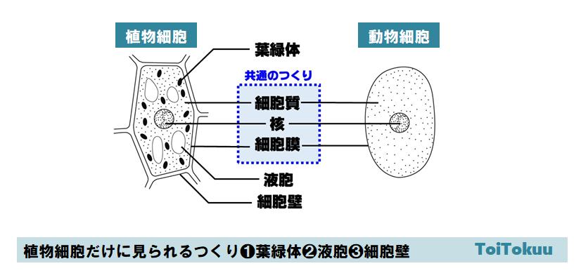 細胞のつくり(中学理科)