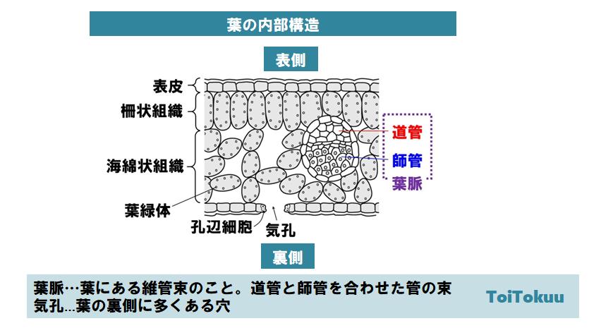 葉の内部構造(中学理科)