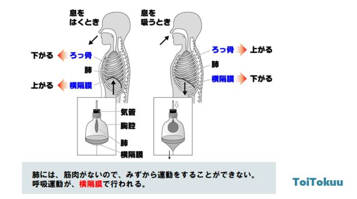 ヒトの呼吸(中学理科)