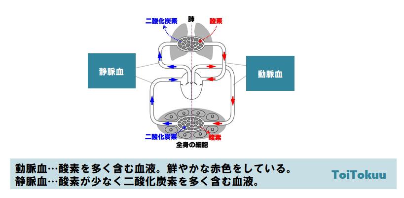 血液の循環(中学理科)